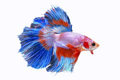 Halfmoon Siamese Fighting Fishes Isolated on White Background Royalty Free Stock Photography