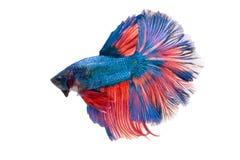 Halfmoon utsmyckade Betta Fish Arkivbilder