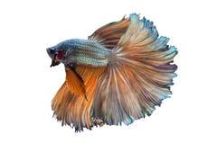 Halfmoon utsmyckade Betta Fish Fotografering för Bildbyråer