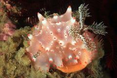 Halgerda Batangas Nudibranch που γεννά τα αυγά στοκ εικόνες