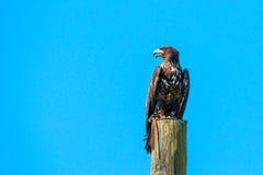 Haliaeetus albicilla Adler, der nach Opfer sucht Lizenzfreie Stockbilder
