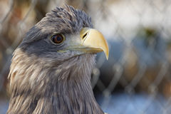 Haliaeetus albicilla Royalty Free Stock Photo