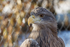 Haliaeetus albicilla Royalty Free Stock Photos