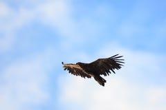 Haliaeetus albicilla, White-tailed Sea-eagle. Stock Images
