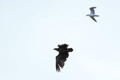 Haliaeetus albicilla, White-tailed Sea-eagle. Royalty Free Stock Image