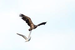 Haliaeetus albicilla, White-tailed Sea-eagle. Royalty Free Stock Photos