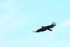 Haliaeetus albicilla, White-tailed Sea-eagle. Stock Image