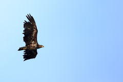 Haliaeetus albicilla, White-tailed Sea-eagle. Royalty Free Stock Images