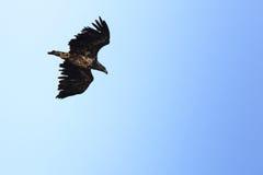 Haliaeetus albicilla, White-tailed Sea-eagle. Stock Photo