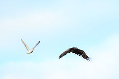 Haliaeetus albicilla, White-tailed Sea-eagle. Royalty Free Stock Photography