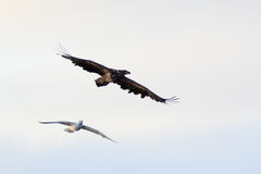 Haliaeetus albicilla, White-tailed Sea-eagle. Stock Photography