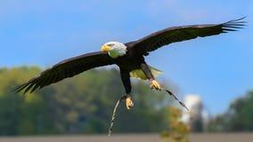 白头鹰(Haliaeetus leucocephalus)在接进着陆 免版税库存照片