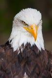 Haliaeetus leucocephalus - bald eagle Stock Images