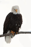 Haliaeetus leucocephalus sits on a branch. Royalty Free Stock Images