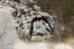Haliaeetus leucocephalus Weißkopfseeadler ist ein großer Raubvogel wohnend in Nordamerika Stockfotografie