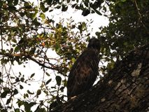 Haliaeetus leucogaster,在树梢栖息的白鼓起的海鹰反对天空蔚蓝 Wilpattu国立公园,斯里兰卡 库存图片