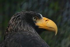 orła haliaeetus pelagicus s morza steller Zdjęcia Royalty Free