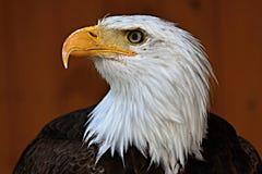 Haliaeetusleucocephalus, skalliga Eagle Arkivfoton