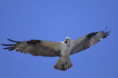 haliaetus白鹭的羽毛pandion 图库摄影