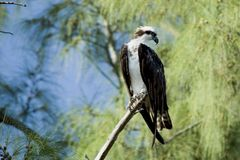 Haliaetus d'Osprey-Pandion Photos libres de droits