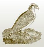 Haliaetus de pandion de balbuzard se reposant sur une roche Photos libres de droits