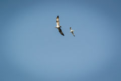 Haliaetus del Pandion - beeing di Eagle di pesce allontanato da un gabbiano di mare comune Immagine Stock