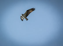 Haliaetus del Pandion - pescado Eagle, vignetted Foto de archivo