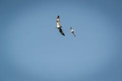 Haliaetus do Pandion - beeing de Eagle de peixes conduzido afastado por uma gaivota de mar comum Imagem de Stock