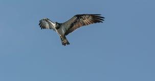 Haliaetus do Pandion - peixe Eagle, parando imediatamente antes do mergulho para travar peixes Imagens de Stock Royalty Free