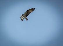 Haliaetus do Pandion - peixe Eagle, vignetted Foto de Stock