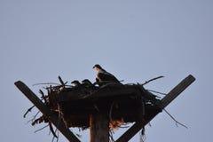 Haliaetus y polluelos del Pandion del Osprey/del lavabo de Columbia Foto de archivo libre de regalías