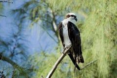 haliaetus白鹭的羽毛pandion 免版税库存照片