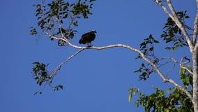 Haliaetuszitting van Pandion van de visarendvogel op Boomtak stock video