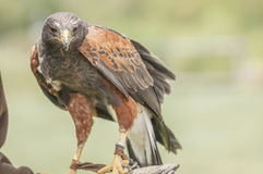 Haliastur sphenurus (ACCIPITRIDAE) Whistling Kite Royalty Free Stock Photography