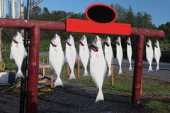 Halibut Royalty Free Stock Photography