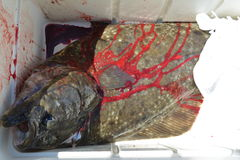 Halibut in cooler. Fresh caught halibut fish in cooler covered in blood Stock Photos