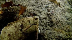 Halibut fish underwater on seabed of Barents Sea. Diving on background of blue lagoon and wildlife in Arctic ocean stock video footage