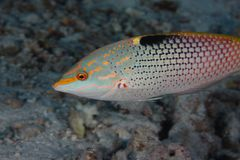 Halichoeres hortulanus - wrasse - Red Sea Stock Photos