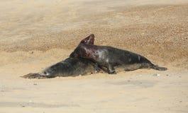 Halichoerus för två slåss stor framträdande Grey Seal tjurar grypus på en strand i pållet, Norfolk, UK arkivfoto