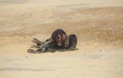 Halichoerus för två slåss stor framträdande Grey Seal tjurar grypus på en strand i pållet, Norfolk, UK arkivfoton
