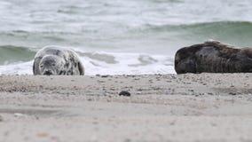 Halichoerus grypus grigio della guarnizione sul Mare del Nord stock footage