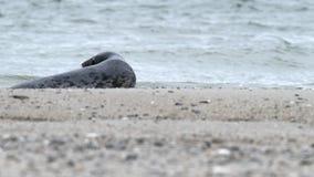 Halichoerus grypus grigio della guarnizione sulla costa del nord stock footage