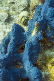 Haliclona que encrusta la esponja azul Fotos de archivo