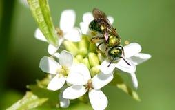 halictid пчелы стоковое фото rf