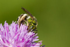 Halictid bee Royalty Free Stock Photo