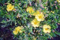 Halimium libanotis plant with small yellow blossoms Royalty Free Stock Photos