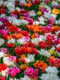 Halizna czerwieni, menchii, pomarańcz i białych świezi tulipany, Zdjęcia Stock