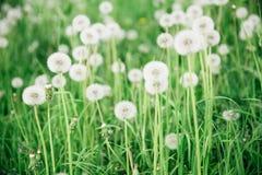 Halizna dandelions Zdjęcie Stock