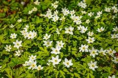 Halizna wiosna biali kwiaty w lesie, lasowy wiatraczek obrazy royalty free