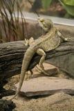 Halkning av reptilen Arkivfoto
